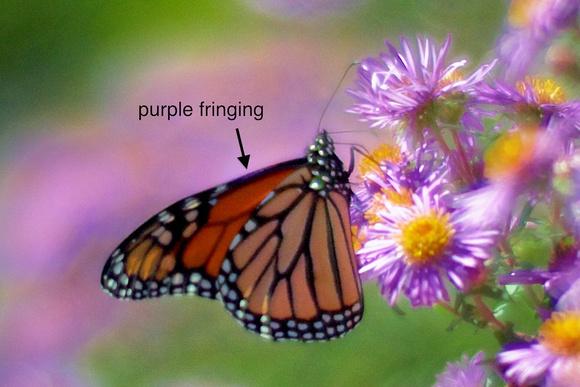 Monarch (100% crop).